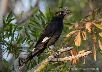 MMPI_20200509_MMPI0064_0001 - Pied Currawong (Strepera graculina) perching on a tree branch.