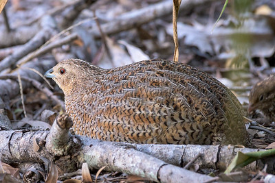 MMPI_20200509_MMPI0064_0006 - Brown Quail (Coturnix ypsilophora) (adult) in leaf litter.