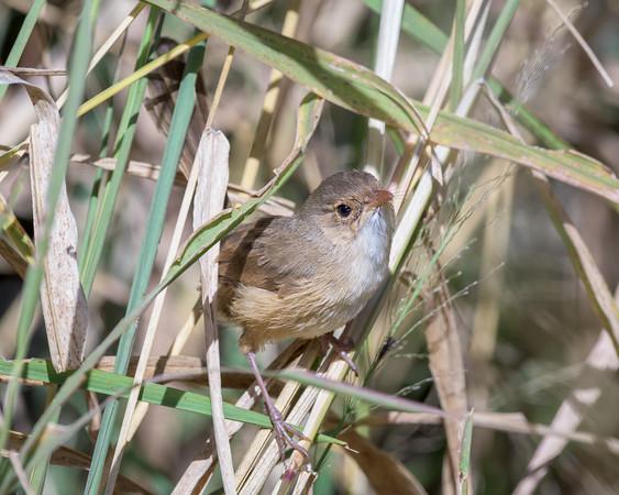 MMPI_20200516_MMPI0064_0021 - Red-backed Fairywren (Malurus melanocephalus) (female) perching on long grass stalks.