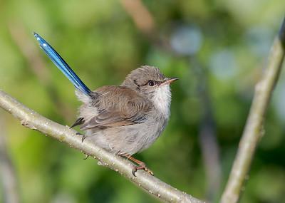 MMPI_20200516_MMPI0064_0007 - Superb Fairywren (Malurus cyaneus) (male eclipse plumage) perching on a tree branch.