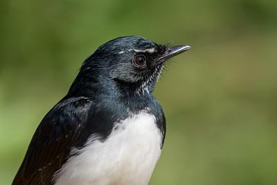 MMPI_20200516_MMPI0064_0018 - Willie Wagtail (Rhipidura leucophrys) headshot.