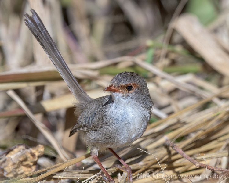 MMPI_20200516_MMPI0064_0020 - Superb Fairywren (Malurus cyaneus) (immature) on the hunt for foor amongst long grass stems.