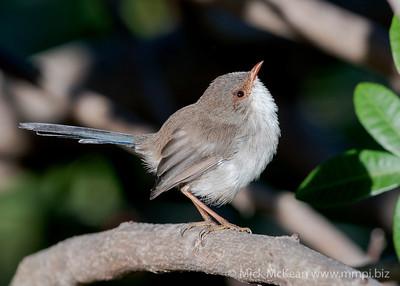MMPI_20200516_MMPI0064_0003 - Superb Fairywren (Malurus cyaneus) (female) perching on a tree branch.