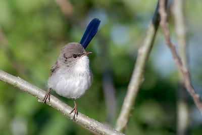MMPI_20200516_MMPI0064_0008 - Superb Fairywren (Malurus cyaneus) (male eclipse plumage) perching on a tree branch.