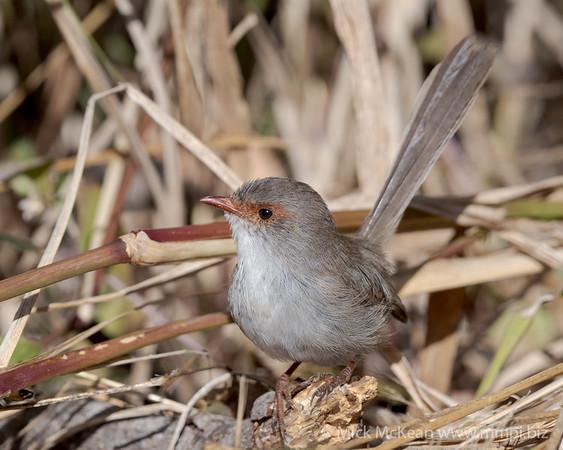 MMPI_20200516_MMPI0064_0019 - Superb Fairywren (Malurus cyaneus) (immature) on the hunt for food amongst long grass stems.