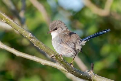 MMPI_20200516_MMPI0064_0006 - Superb Fairywren (Malurus cyaneus) (male eclipse plumage) perching on a tree branch.