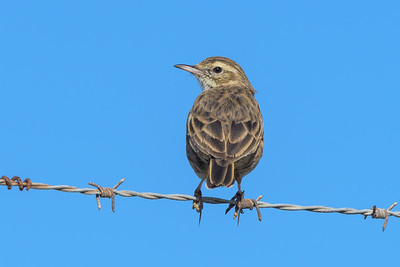 MMPI_20200524_MMPI0064_0005 - Australian Pipit (Anthus australis) perching on a barbed-wire fence.