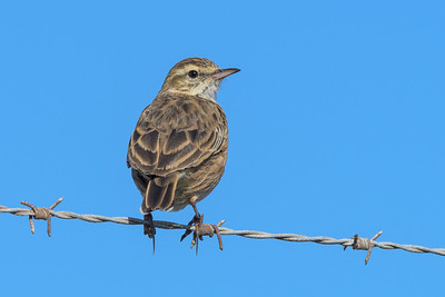 MMPI_20200524_MMPI0064_0004 - Australian Pipit (Anthus australis) perching on a barbed-wire fence.