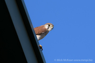MMPI_20200524_MMPI0064_0006 - Nankeen Kestrel (Falco cenchroides) on the roof of a building.