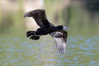MMPI_20200526_MMPI0064_0017 - Little Black Cormorant (Phalacrocorax sulcirostris) in flight over a lake.