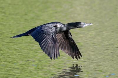 MMPI_20200526_MMPI0064_0021 - Little Black Cormorant (Phalacrocorax sulcirostris) in flight over a lake.