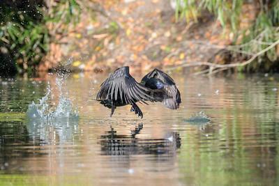 MMPI_20200529_MMPI0064_0008 - Little Black Cormorant (Phalacrocorax sulcirostris) taking off from a lake.