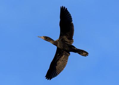 MMPI_20200529_MMPI0064_0002 - Little Black Cormorant (Phalacrocorax sulcirostris) (immature) in flight.