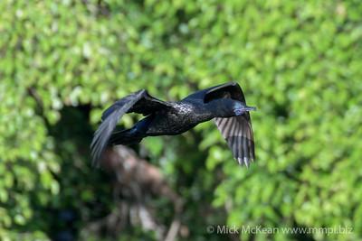 MMPI_20200529_MMPI0064_0009 - Little Black Cormorant (Phalacrocorax sulcirostris) in flight.