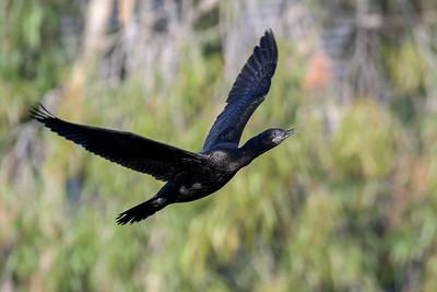 MMPI_20200529_MMPI0064_0005 - Little Black Cormorant (Phalacrocorax sulcirostris) in flight.