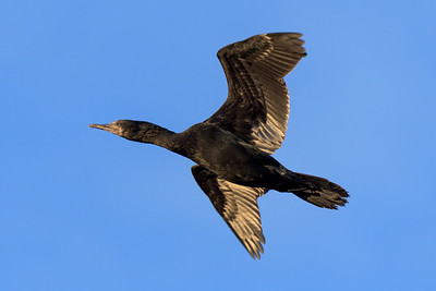 MMPI_20200529_MMPI0064_0001 - Little Black Cormorant (Phalacrocorax sulcirostris) (immature) in flight.