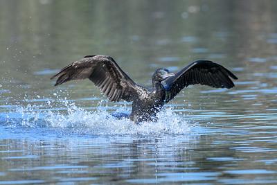 MMPI_20200529_MMPI0064_0013 - Little Black Cormorant (Phalacrocorax sulcirostris) landing on a lake.