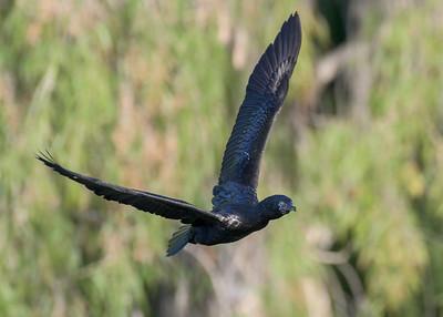 MMPI_20200529_MMPI0064_0011 - Little Black Cormorant (Phalacrocorax sulcirostris) in flight.