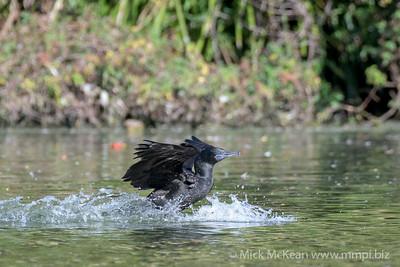 MMPI_20200530_MMPI0064_0016 - Little Black Cormorant (Phalacrocorax sulcirostris) landing on a lake.