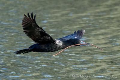 MMPI_20200530_MMPI0064_0004 - Little Black Cormorant (Phalacrocorax sulcirostris) in flight with nesting material in its bill.