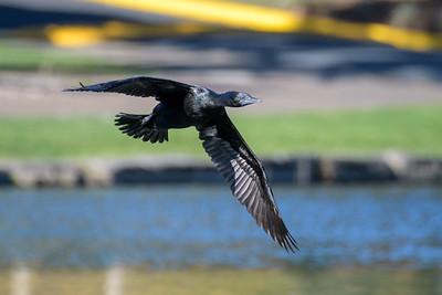 MMPI_20200530_MMPI0064_0017 - Little Black Cormorant (Phalacrocorax sulcirostris) in flight.