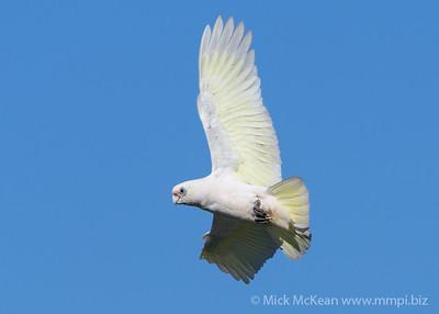 MMPI_20200530_MMPI0064_0019 - Little Corella (Cacatua sanguinea) in flight.