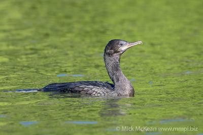 MMPI_20200530_MMPI0064_0015 - Little Black Cormorant (Phalacrocorax sulcirostris) swimming on a lake.