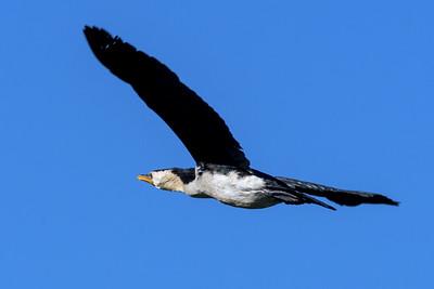 MMPI_20200530_MMPI0064_0011 - Little Pied Cormorant (Microcarbo melanoleucos) in flight.