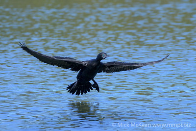 MMPI_20200530_MMPI0064_0020 - Little Black Cormorant (Phalacrocorax sulcirostris) about to land on a lake.