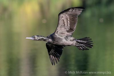 MMPI_20200530_MMPI0064_0001 - Little Black Cormorant (Phalacrocorax sulcirostris) in flight.