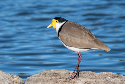 MMPI_20200530_MMPI0064_0005 - Masked Lapwing (Vanellus miles) standing at the edge of a lake.