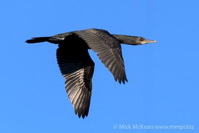 MMPI_20200602_MMPI0064_0014 - Little Black Cormorant (Phalacrocorax sulcirostris) (immature) in flight.