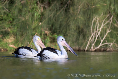 MMPI_20200602_MMPI0064_0003 - Australian Pelican (Pelecanus conspicillatus) pair swimming on a lake.