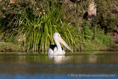 MMPI_20200602_MMPI0064_0002 - Australian Pelican (Pelecanus conspicillatus) swimming on a lake.