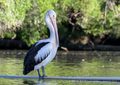 MMPI_20200602_MMPI0064_0007 - Australian Pelican (Pelecanus conspicillatus) standing on a pipe on a lake.