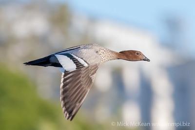 MMPI_20200603_MMPI0064_0004 - Maned Duck (Chenonetta jubata) in flight.
