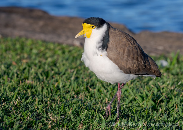MMPI_20200603_MMPI0064_0006 - Masked Lapwing (Vanellus miles) staning on a lawn.