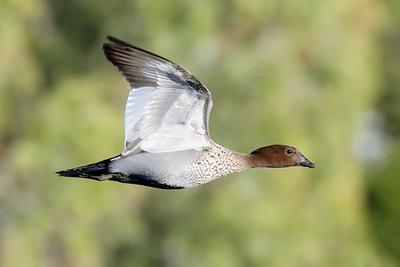 MMPI_20200603_MMPI0064_0003 - Maned Duck (Chenonetta jubata) in flight.