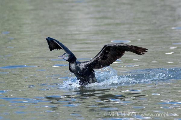 MMPI_20200603_MMPI0064_0017 - Little Black Cormorant (Phalacrocorax sulcirostris) landing on a lake.
