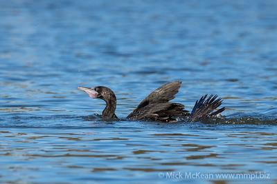 MMPI_20200603_MMPI0064_0014 - Little Black Cormorant (Phalacrocorax sulcirostris) (immature) swimming on a lake.