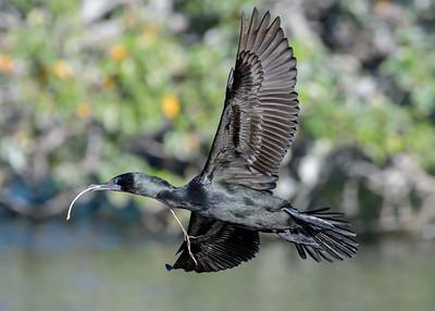 MMPI_20200603_MMPI0064_0020 - Little Black Cormorant (Phalacrocorax sulcirostris) in flight with nesting material in its bill.
