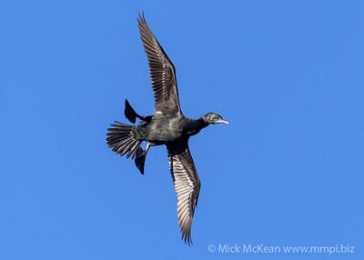 MMPI_20200603_MMPI0064_0013 - Little Black Cormorant (Phalacrocorax sulcirostris) banking steeply in flight.