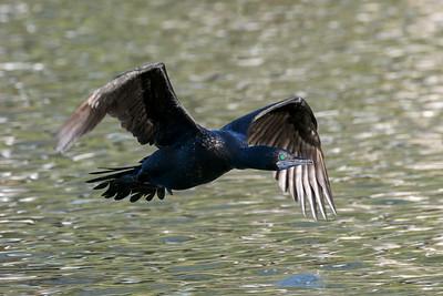 MMPI_20200603_MMPI0064_0022 - Little Black Cormorant (Phalacrocorax sulcirostris) in flight low over a lake.