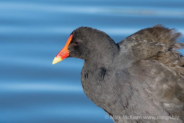 MMPI_20200603_MMPI0064_0015 - Dusky Moorhen (Gallinula tenebrosa) headshot at lake edge.