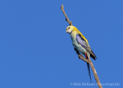 MMPI_20200606_MMPI0064_0003 - Pale-headed Rosella (Platycercus adscitus) perhing on a dead tree branch against a clean blue sky.