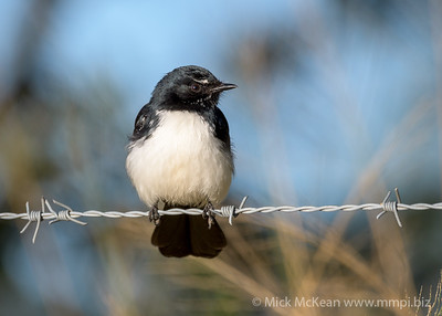 MMPI_20200606_MMPI0064_0004 - Willie Wagtail (Rhipidura leucophrys) perching on a barbed wire fence.