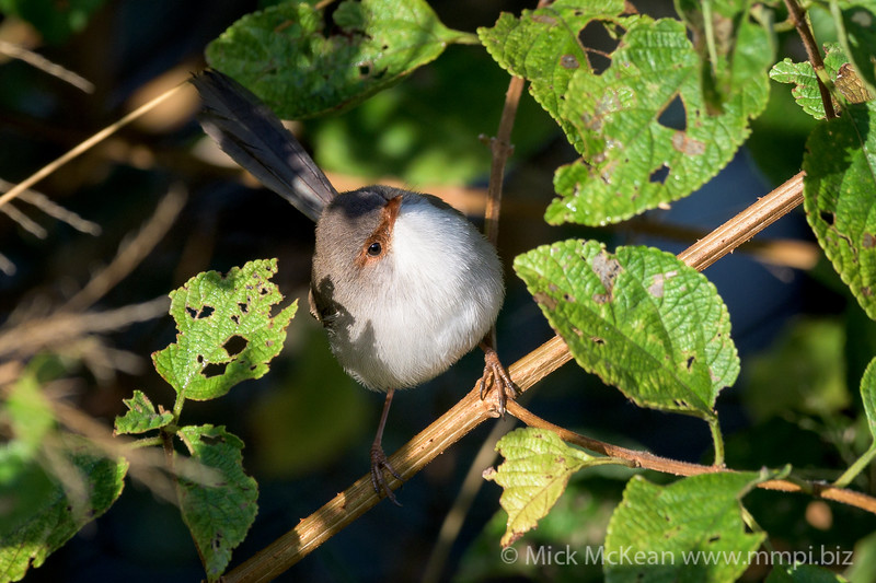 MMPI_20200606_MMPI0064_0002 - Superb Fairywren (Malurus cyaneus) (female) perching in a Lantana bush.