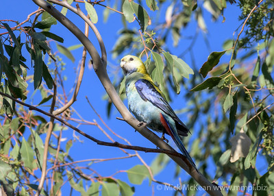 MMPI_20200606_MMPI0064_0005 - Pale-headed Rosella (Platycercus adscitus) perching in a Eucalypt tree.