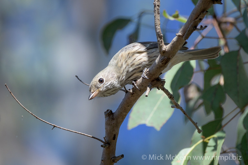 MMPI_20200606_MMPI0064_0011 - Australian Golden Whistler (Pachycephala pectoralis) (female) looking down from a tree branch.