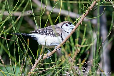 MMPI_20200606_MMPI0064_0009 - Double-barred Finch (Taeniopygia bichenovii) perching in a Casuarina tree.